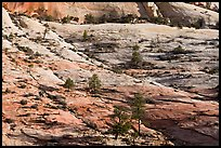 Trees growing out of sandstone slabs, Zion Plateau. Zion National Park ( color)
