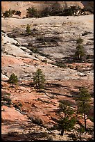 Pine trees and sandstone slabs, Zion Plateau. Zion National Park, Utah, USA. (color)