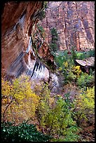 Rock wall and trees in fall colors, near the first Emerald Pool. Zion National Park, Utah, USA. (color)