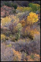 Trees in fall colors in a creek, Finger canyons of the Kolob. Zion National Park, Utah, USA. (color)