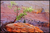Pine tree and checkerboard patterns, Zion Plateau. Zion National Park, Utah, USA. (color)