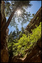 Sun through tree at the mouth of Hidden Canyon. Zion National Park ( color)