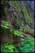 Wall covered with ferns and flowers, Hidden Canyon. Zion National Park ( color)