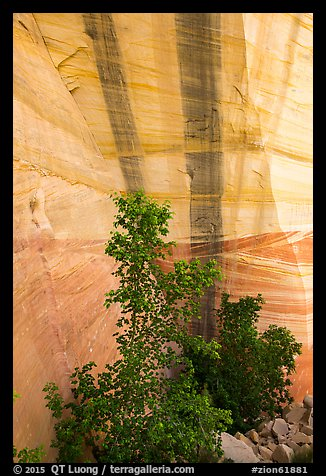 Trees and wall with desert varnish, Mystery Canyon. Zion National Park (color)