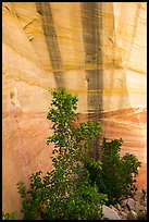 Trees and wall with desert varnish, Mystery Canyon. Zion National Park ( color)