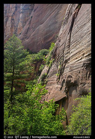 Verdant vegetation and canyon walls, Mystery Canyon. Zion National Park (color)