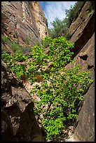 Young tree with green leaves in Mystery Canyon. Zion National Park ( color)