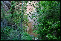 Verdant leaves and sandstone wall, Mystery Canyon. Zion National Park ( color)