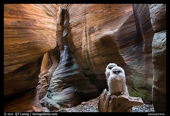Two juvenile owls in sculpted chamber, Pine Creek Canyon. Zion National Park (color)