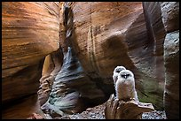 Two juvenile owls in sculpted chamber, Pine Creek Canyon. Zion National Park ( color)