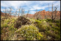 Wildflowers, cacti, and burned trees, Grapevine. Zion National Park ( color)