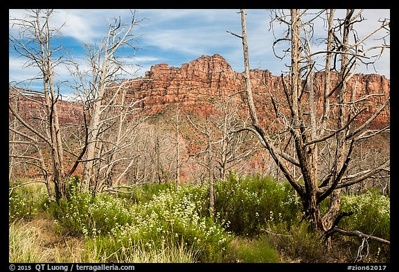 Wildflowers, burned trees, and cliffs, Grapevine. Zion National Park (color)