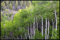 Aspen in early summer, Kolob Terraces. Zion National Park ( color)
