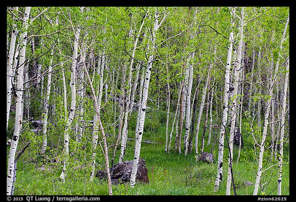 Slender aspen in summer, Lava Point. Zion National Park (color)