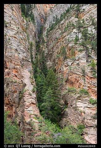 Pine forest clinging to steep cliffs. Zion National Park (color)