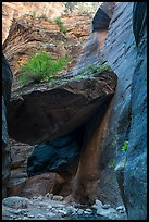 Tree growing on large jammed boulder, Orderville Canyon. Zion National Park ( color)