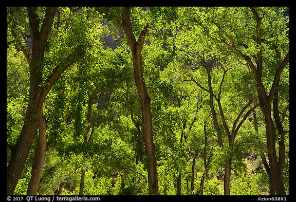Trees in summer, the Grotto. Zion National Park (color)