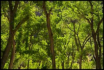 Trees in summer, the Grotto. Zion National Park ( color)