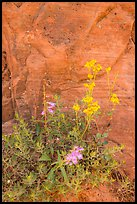 Wildflowers against sandstone cliff. Zion National Park ( color)