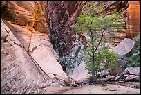 Tree and cliffs, Behunin Canyon. Zion National Park ( color)