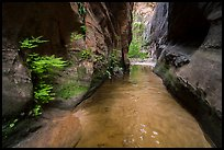 Ferns thriving in moist narrows of Behunin Canyon. Zion National Park ( color)