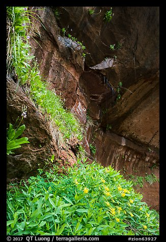 Hanging gardens in alcove near Lower Emerald Pool. Zion National Park (color)