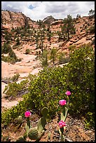 Cactus in bloom and Zion Plateau. Zion National Park ( color)