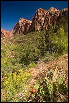 Cactus and wildflowers in bloom, Pine Creek Canyon. Zion National Park ( color)