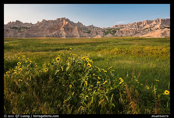 Sunflowers, meadow and badlands, late afternoon. Badlands National Park (color)