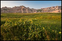 Sunflowers, meadow and badlands, late afternoon. Badlands National Park, South Dakota, USA. (color)