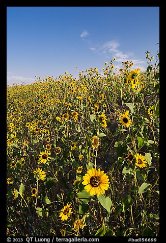 Slope covered with sunflowers. Badlands National Park (color)