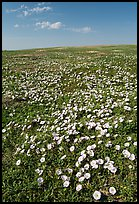 Prairie dog town and wildflowers carpet. Badlands National Park, South Dakota, USA. (color)