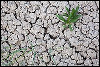 Close-up of plants growing in cracked rock and. Badlands National Park, South Dakota, USA.