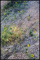 Sunflowers and cracked soil. Badlands National Park, South Dakota, USA. (color)