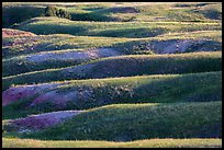 Grassy ridges, Badlands Wilderness. Badlands National Park, South Dakota, USA. (color)