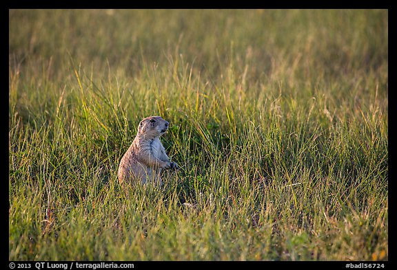 Prairie dog standing in grasses. Badlands National Park (color)