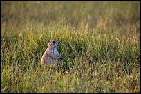 Prairie dog standing in grasses. Badlands National Park, South Dakota, USA. (color)
