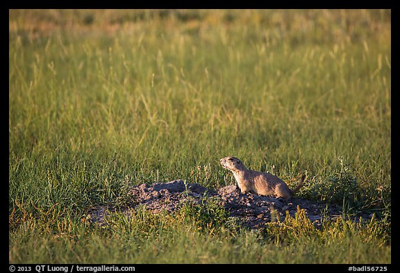 Prairie dog guarding burrow entrance. Badlands National Park (color)
