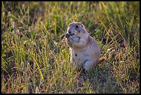 Prairie dog eating grasses. Badlands National Park, South Dakota, USA. (color)