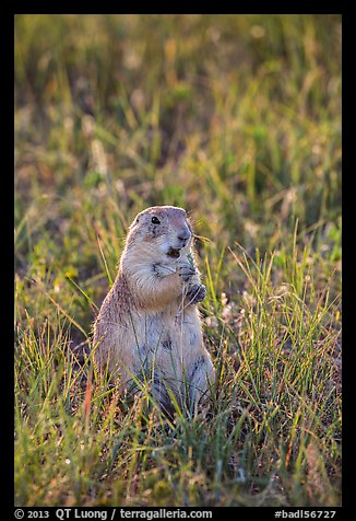 Standing prairie dog holding grass with hind paws. Badlands National Park (color)