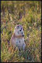 Standing prairie dog holding grass with hind paws. Badlands National Park, South Dakota, USA. (color)