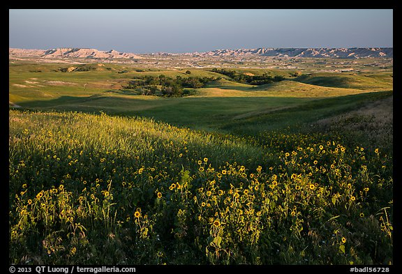 Sunflower carpet, rolling hills, and badlands, Badlands Wilderness. Badlands National Park (color)