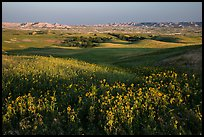 Sunflower carpet, rolling hills, and badlands, Badlands Wilderness. Badlands National Park, South Dakota, USA. (color)