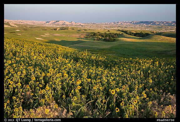 Sunflower carpet, late afternoon, Badlands Wilderness. Badlands National Park (color)