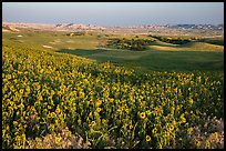 Sunflower carpet, late afternoon, Badlands Wilderness. Badlands National Park, South Dakota, USA. (color)