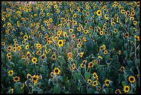 Sunflower carpet. Badlands National Park, South Dakota, USA. (color)