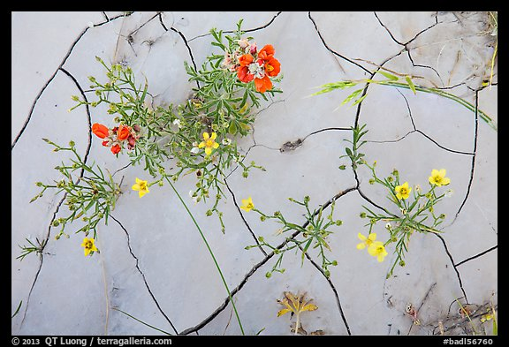 Close-up of red and yellow flowers and mud cracks. Badlands National Park (color)