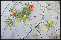 Close-up of red and yellow flowers and mud cracks. Badlands National Park, South Dakota, USA. (color)