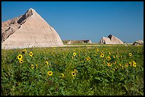 Sunflowers, grassland, and buttes. Badlands National Park, South Dakota, USA. (color)
