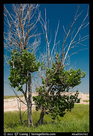 Cottonwood tree. Badlands National Park (color)